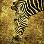 Golden Zebra  Art Print