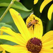 Goldenrod Soldier Beetle Art Print