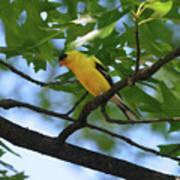 Goldfinch In Oak Tree Art Print