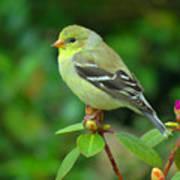 Goldfinch On Green Art Print