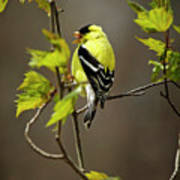 Goldfinch Suspended In Song Art Print