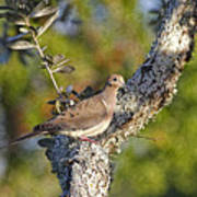 Good Mourning Dove By H H Photography Of Florida Art Print