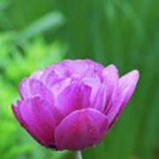 Gorgeous Blooming And Flowering Dark Pink Parrot Tulip Art Print