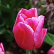 Gorgeous Dark Pink Tulip Blooming In A Garden Art Print