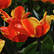 Gorgeous Flowering Orange And Red Blooming Tulips Art Print