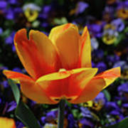 Gorgeous Flowering Yellow And Red Blooming Tulip Art Print