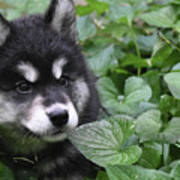 Gorgeous Fluffy Alusky Puppy Peaking Out Of Plants Art Print