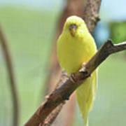 Gorgeous Little Yellow Parakeet Living In The Wild Art Print