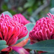 Gorgeous Waratah -floral Emblem Of New South Wales Art Print