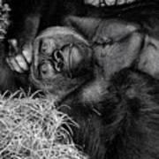 Gorilla Pose Art Print