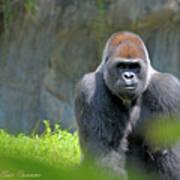 Gorilla Stare Art Print