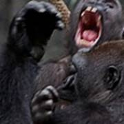 Gorillas Fighting Art Print