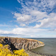 Gorse At Cullernose Point Art Print