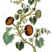 Gourd, 1735 Art Print