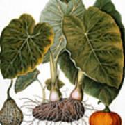 Gourd, Taro, & Pumpkin Art Print