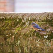 Governor's Palace Bluebird Art Print