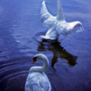 Graceful Swans Art Print