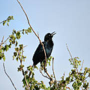 Grackle Cackle Art Print