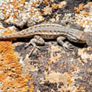 Grand Canyon Lizard Art Print