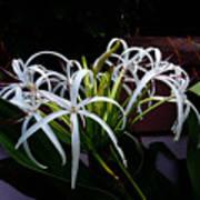 Grand Crinum Lily Art Print