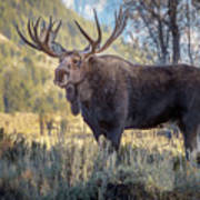 Grand Teton Moose Art Print