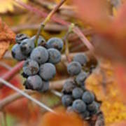 Grape Vine Closeup Art Print
