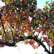 Grape Vine In Autumn Art Print
