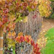 Grape Vines In Fall Art Print