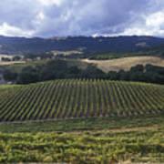 Grape Vines On Opolo Vineyards Art Print