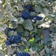 Grape's At Harvest Time Art Print