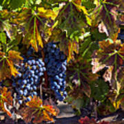 Grapes Of The Napa Valley Art Print by Garry Gay