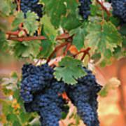 Grapes Of Tuscany Art Print by Dallas Clites