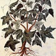 Grapevine, 1229 Art Print