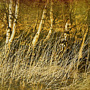 Grass And Birch Art Print
