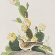 Grass Finch Or Bay Winged Bunting Art Print