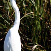 Grassy Egret Art Print