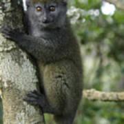 Gray Bamboo Lemur Art Print