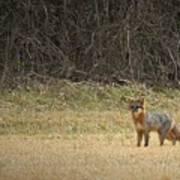 Gray Fox In Lower Pasture Art Print