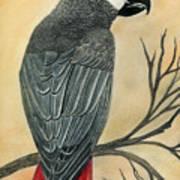 Gray Parrot Art Print