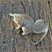 Gray Squirrel - Sciurus Carolinensis Art Print