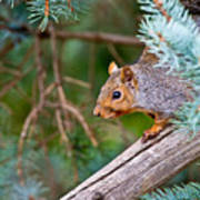 Gray Squirrel Pictures 93 Art Print