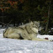 Gray Wolf 5 Art Print