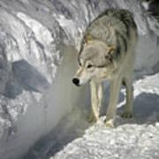 Gray Wolf 7 Art Print