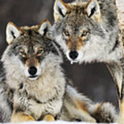 Gray Wolf Canis Lupus Pair In The Snow Art Print