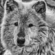 Gray Wolf Portrait Art Print