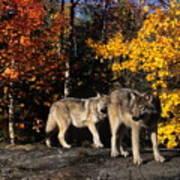 Gray Wolves In Autumn Art Print