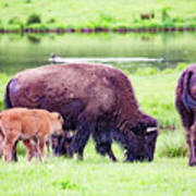 Grazing Bisons Art Print