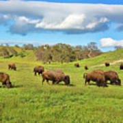 Grazing Buffalo Art Print