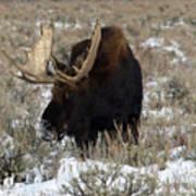 Grazing Bull Moose Art Print