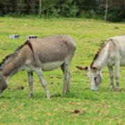 Grazing Donkeys Art Print
